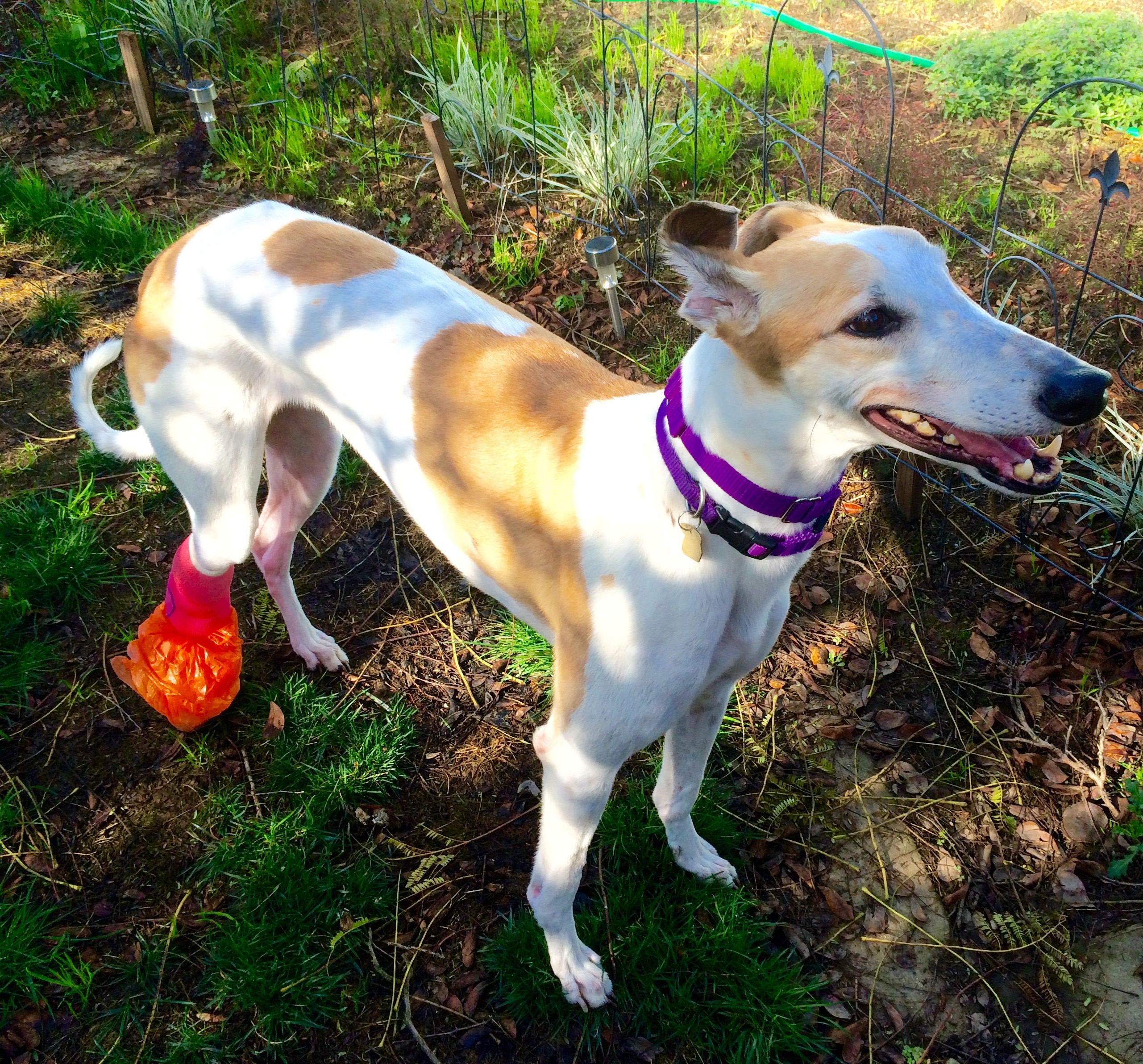 Greyhound Dogs for Adoption