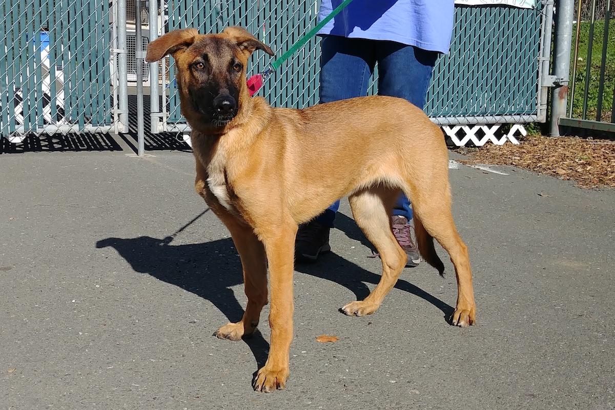 reeses greyhoundgerman shepherd puppy